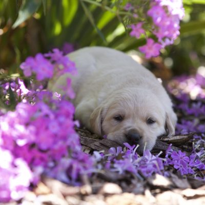 Goldador Puppies For Sale Colorado