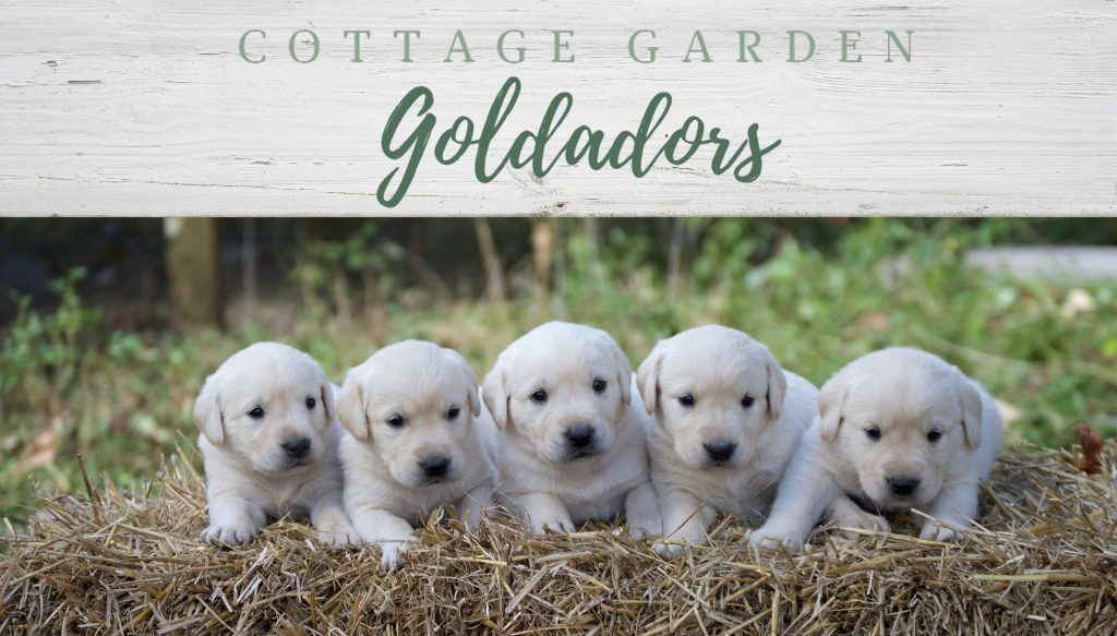 Cottage Garden Goldadors – Breeders of Exceptional Golden